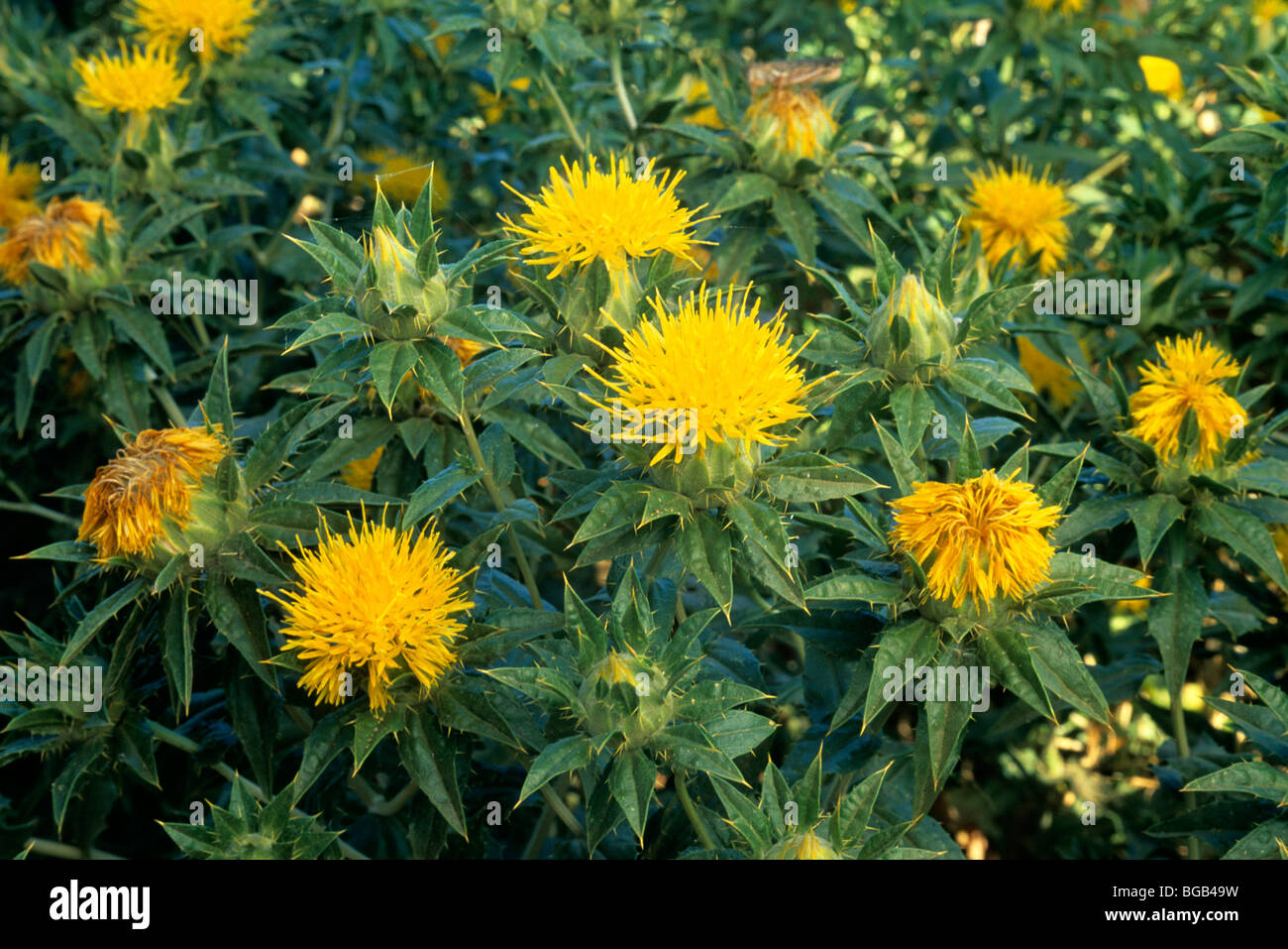 safflower plants in bloom closeup stock image