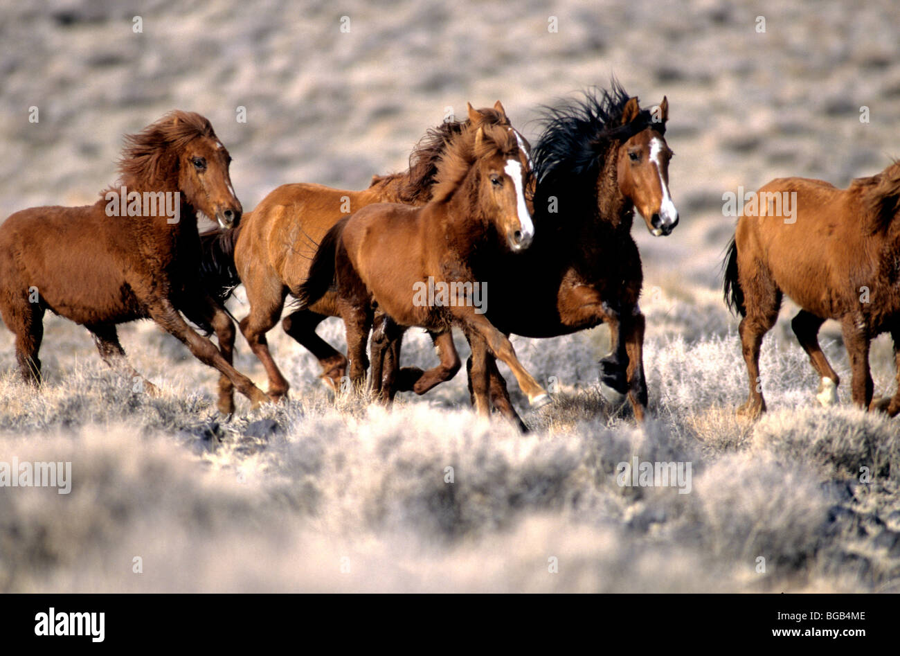 Wild Horses Running Free High Resolution Stock Photography And Images Alamy