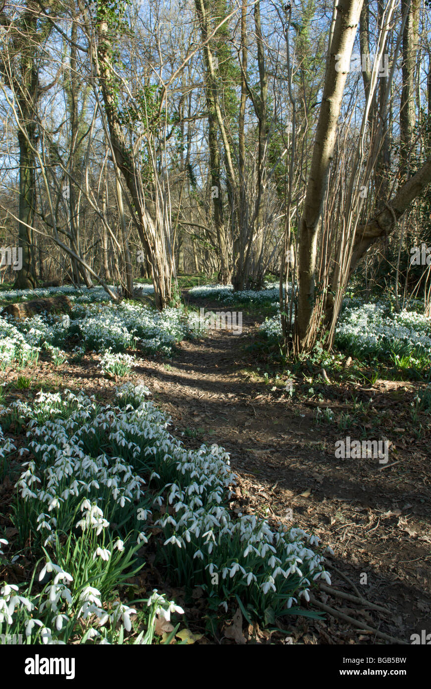 Snowdrop (Galanthus nivalis) massed in old hazel coppice near Petworth, West Sussex, UK. February. - Stock Image