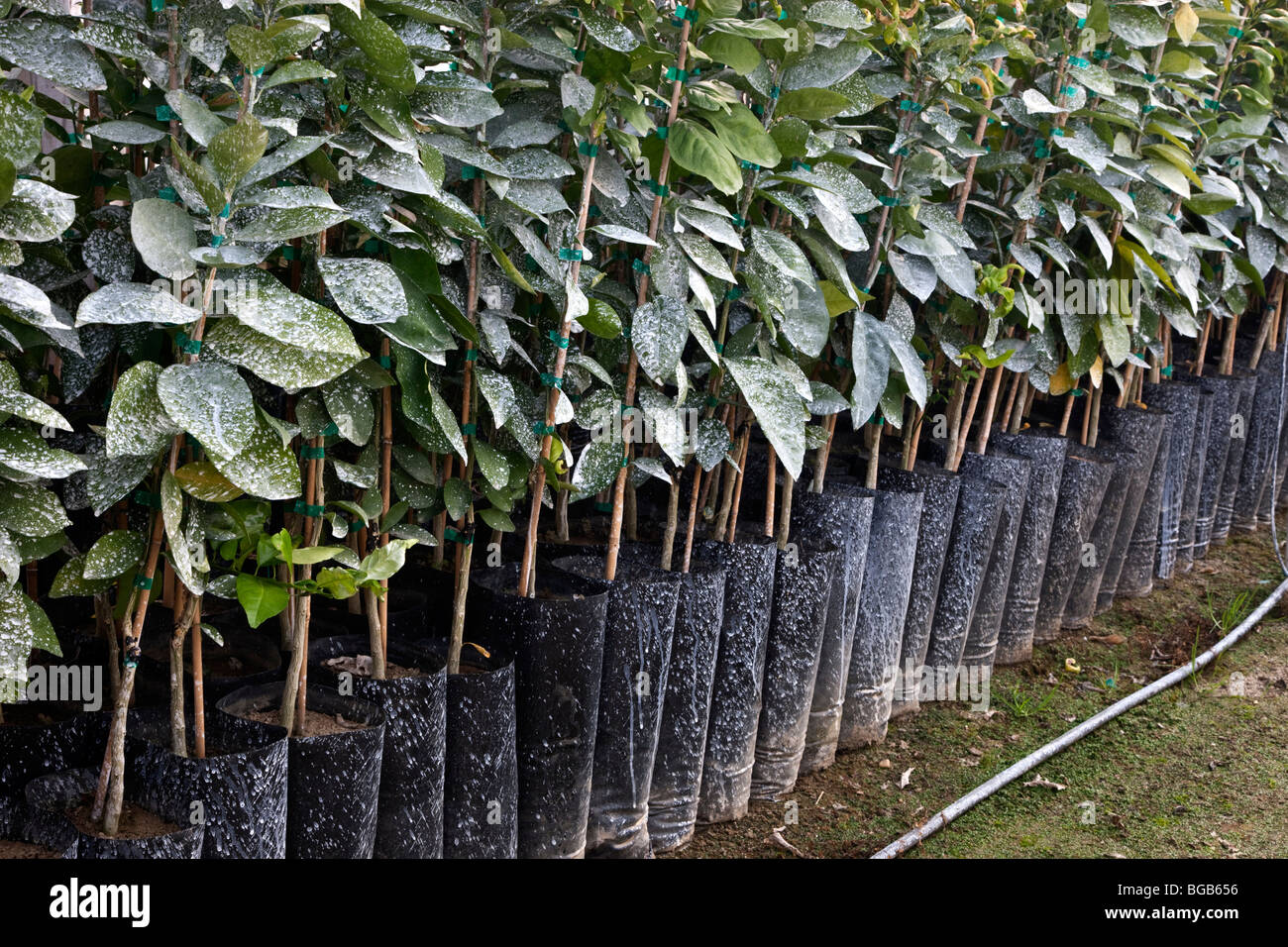 Citrus cuttings planted in propagating containers. - Stock Image