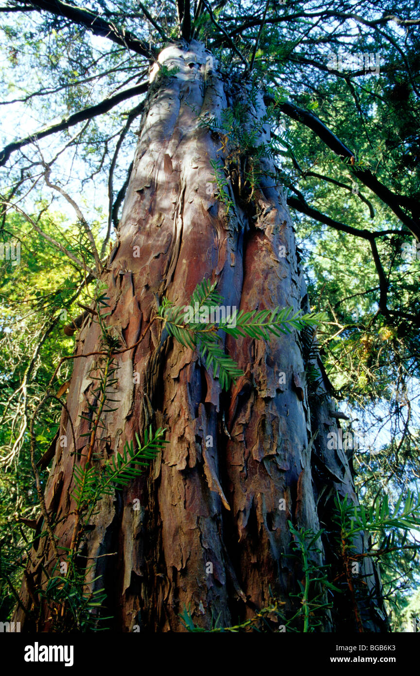 Pacific  Yew tree 'Taxus brevifolia'  looking upward. - Stock Image