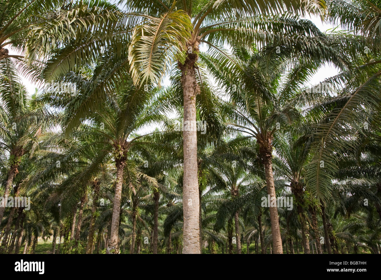 Palm oil mature