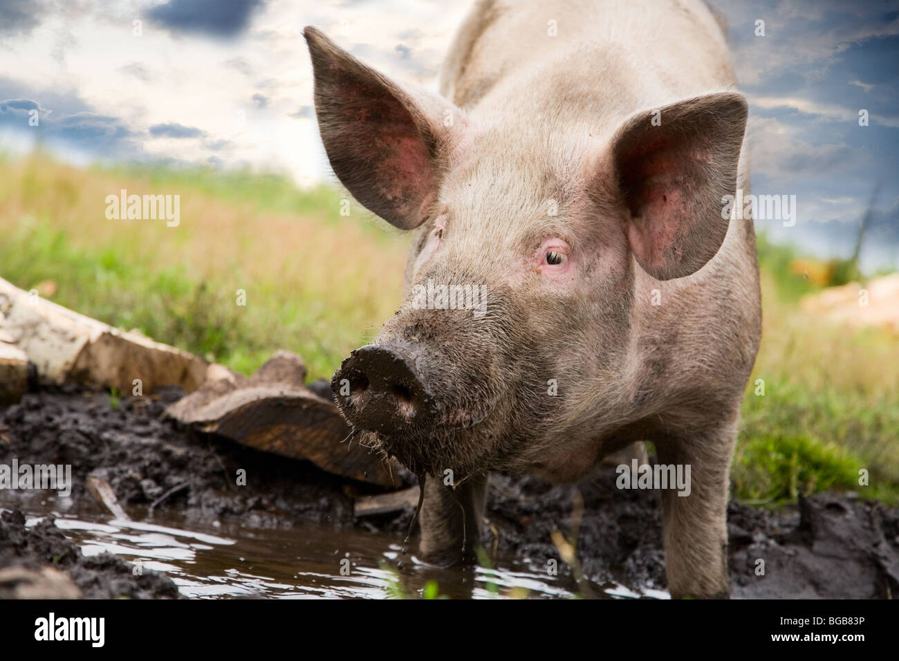 Pig on a background of grass and sky - Stock Image