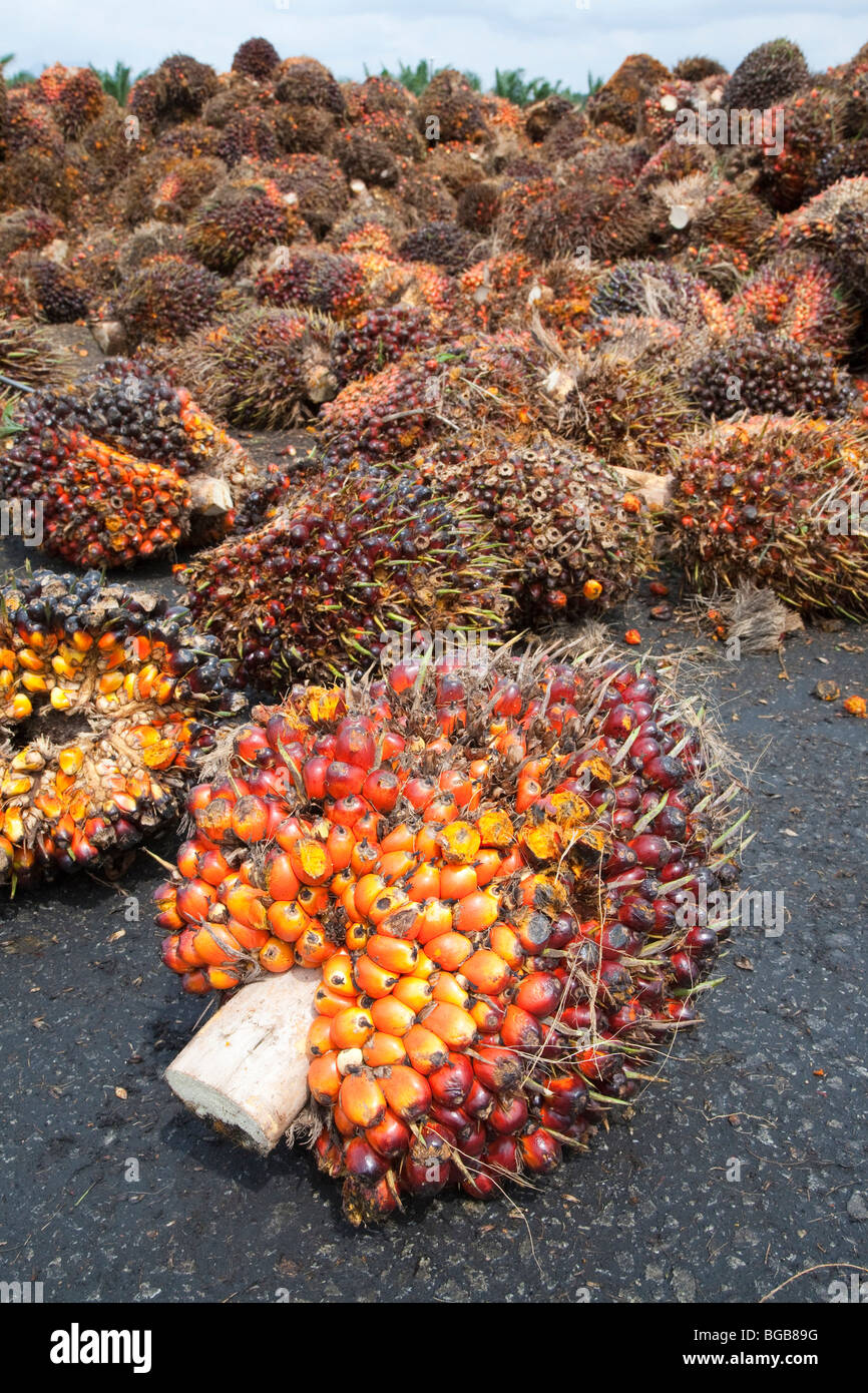 Oil palm fresh fruit bunches (FFBs) awaiting inspection and processing at the mill. The Sindora Palm Oil Mill, Malaysia Stock Photo