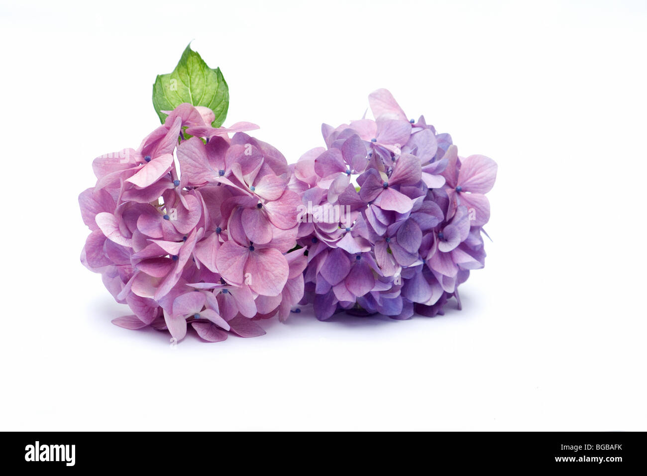 Close-up of hydrangeas - Stock Image