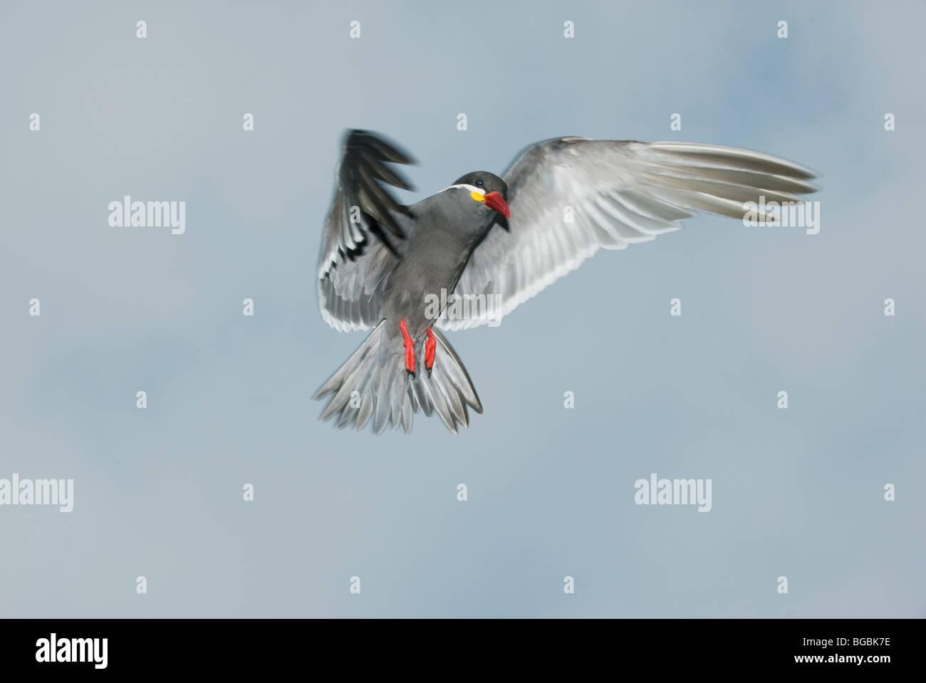 Inca Tern (Larosterna inca) WILD, In Flight, Pucusana, PERU - Stock Image