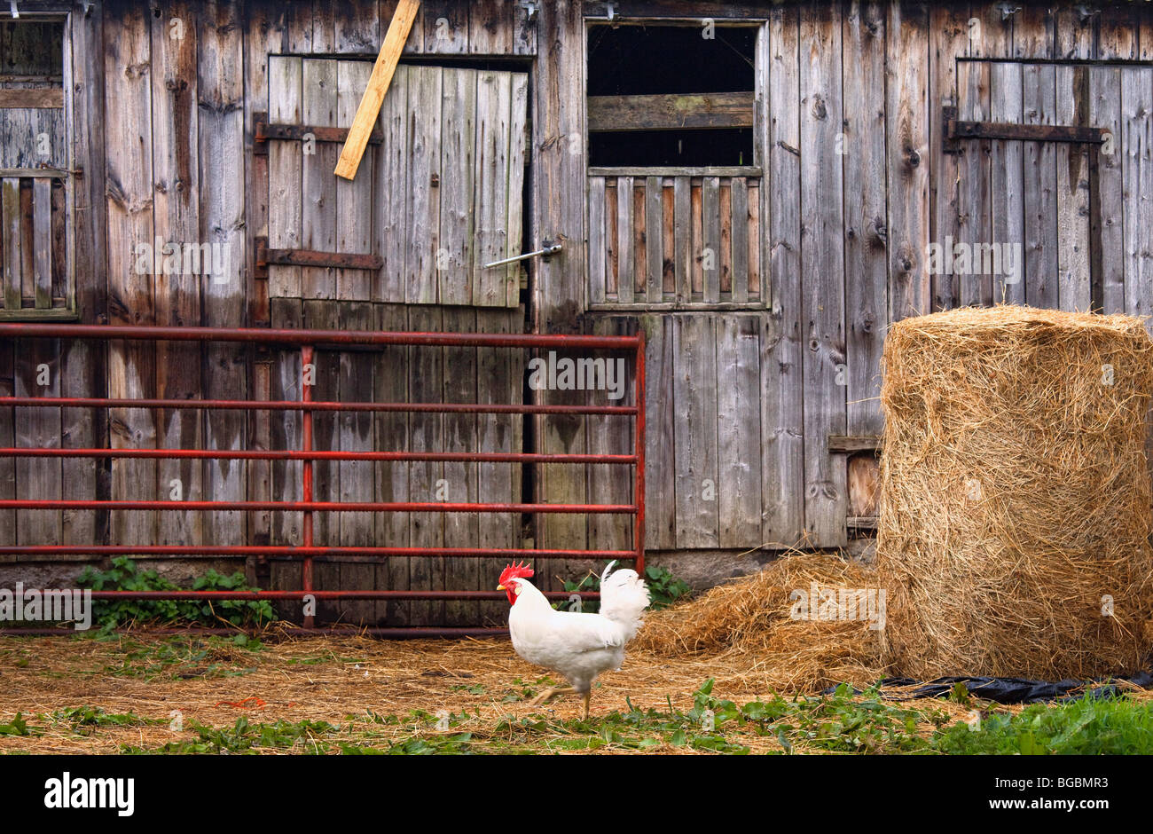 Chicken and barn - Stock Image
