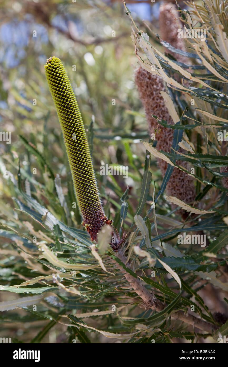 Slender Candlestick Banksia, Banksia attenuata, Australind, Western Australia - Stock Image