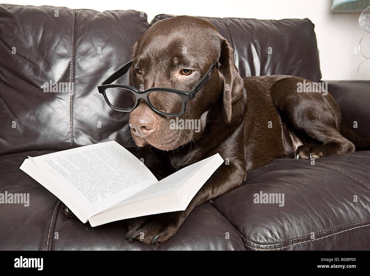 Funny Shot of a Chocolate Labrador with a Good Book on the Sofa - Stock Image