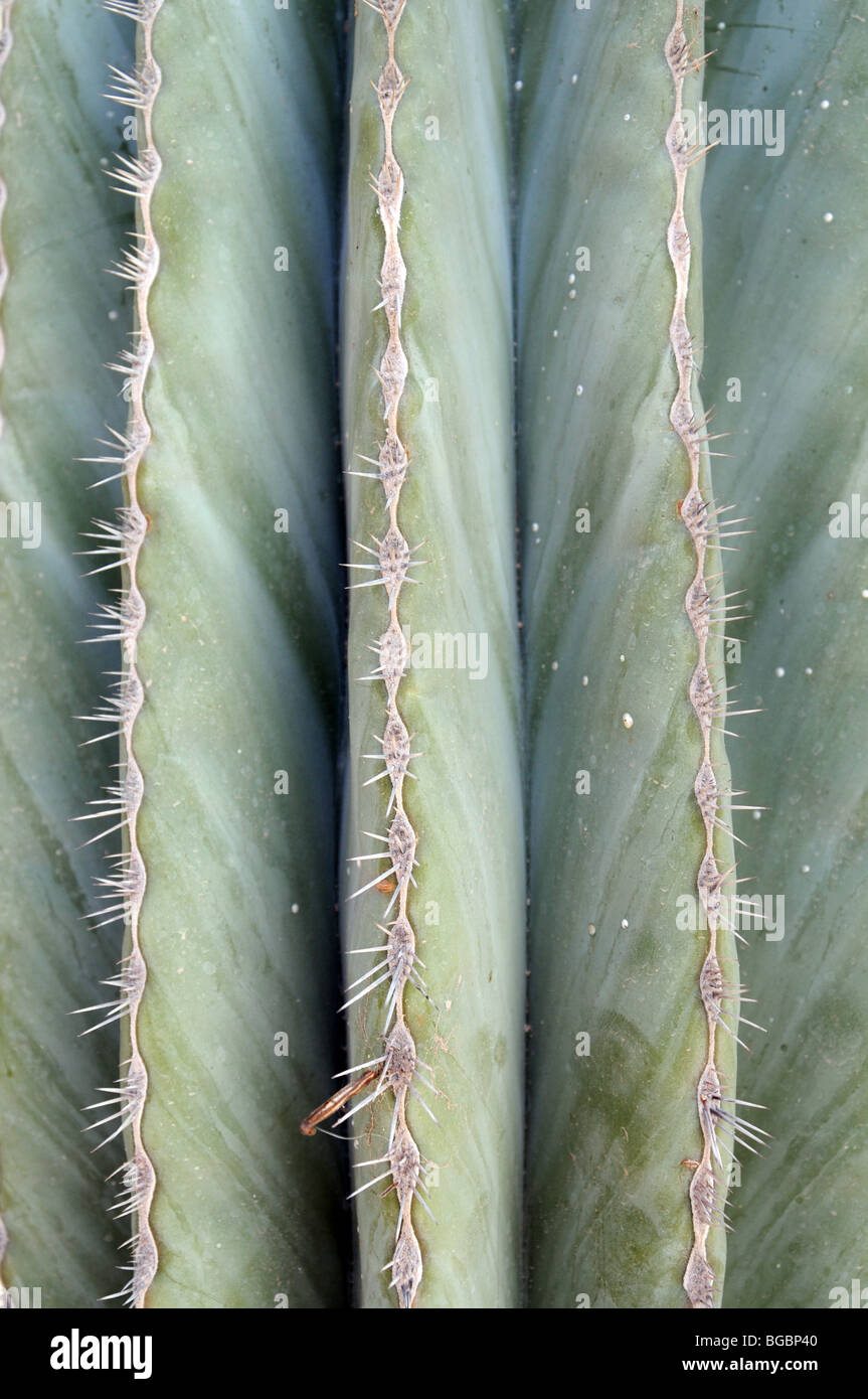 Detail of the Spines of a Saguro Cactus, Baja California, Mexico. - Stock Image