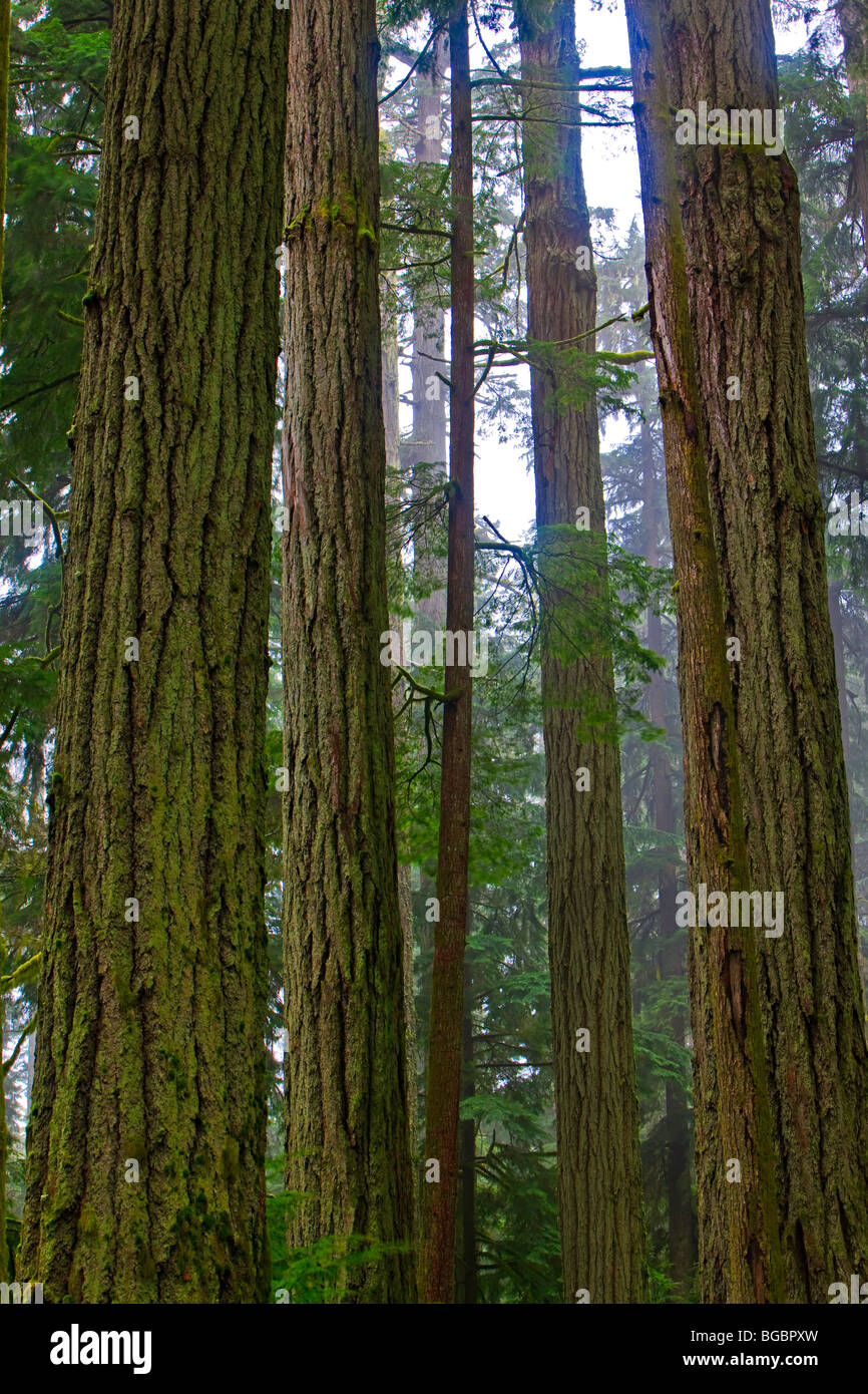 Tall, straight Douglas-fir trees, Pseudotsuga menziesii, in the Cathedral Grove Rainforest, MacMillan Provincial - Stock Image