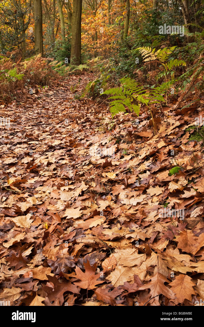 A leaf littered autumnal woodland path - Stock Image