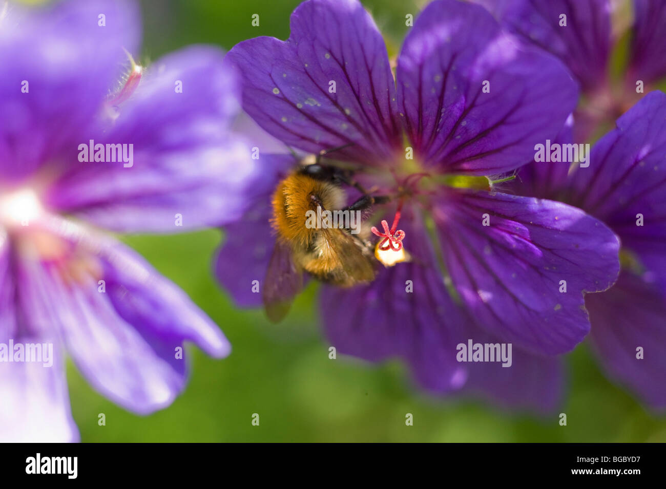 Bee feeding on nectar Stock Photo