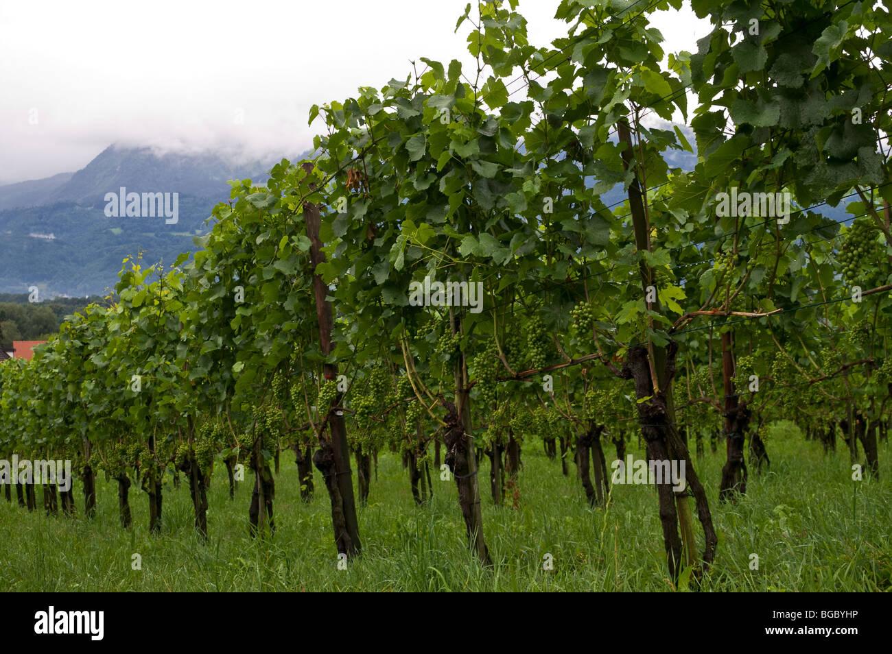 Vineyards in Vaduz on a rainy day Stock Photo