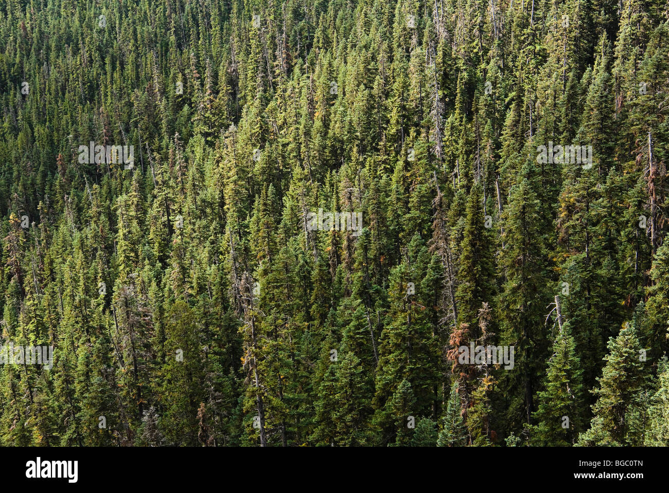 Coniferous sub alpine forest near Washington Pass in the North Cascades of Washington, USA. - Stock Image