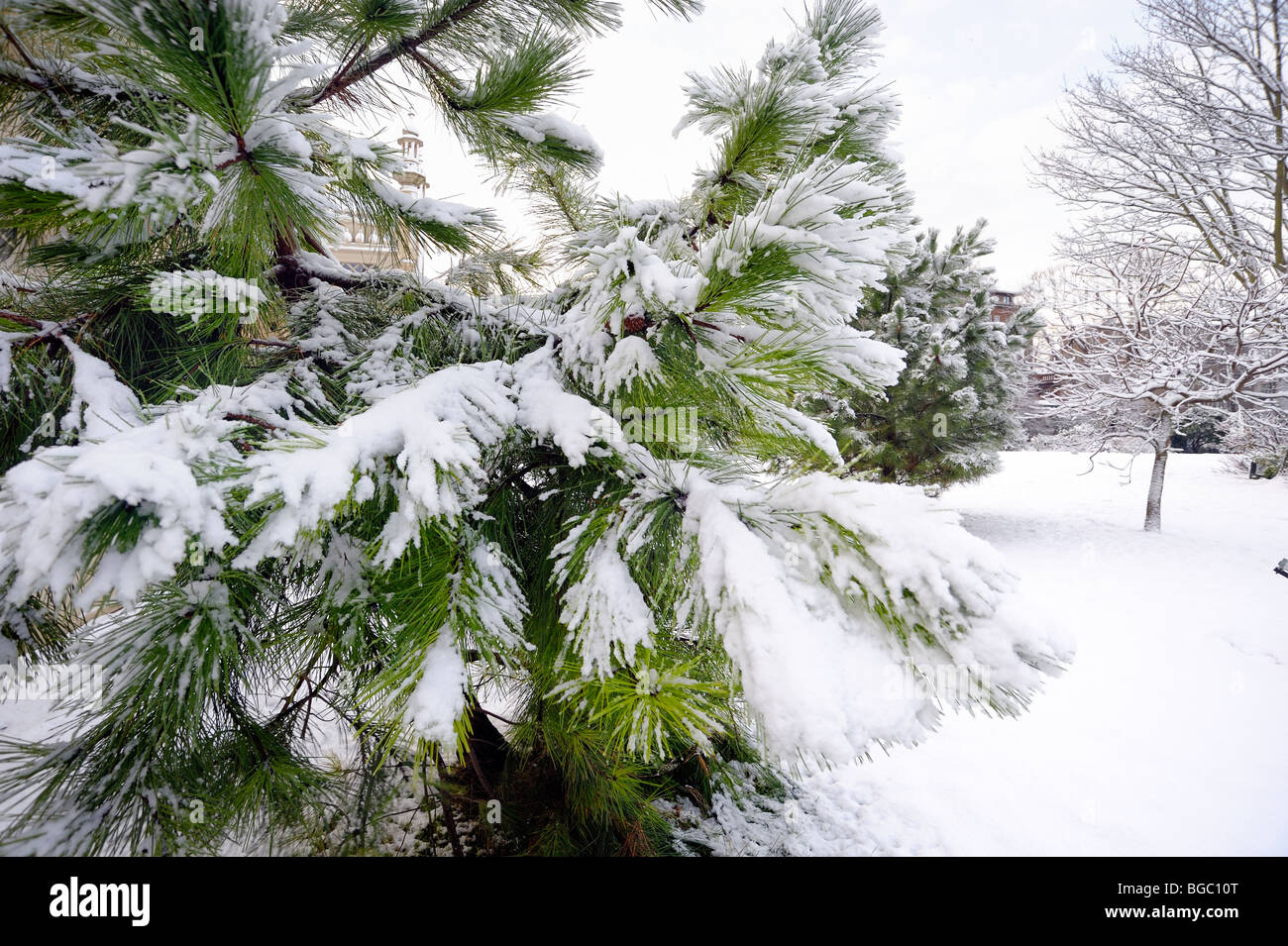 A fir tree covered in snow - Stock Image