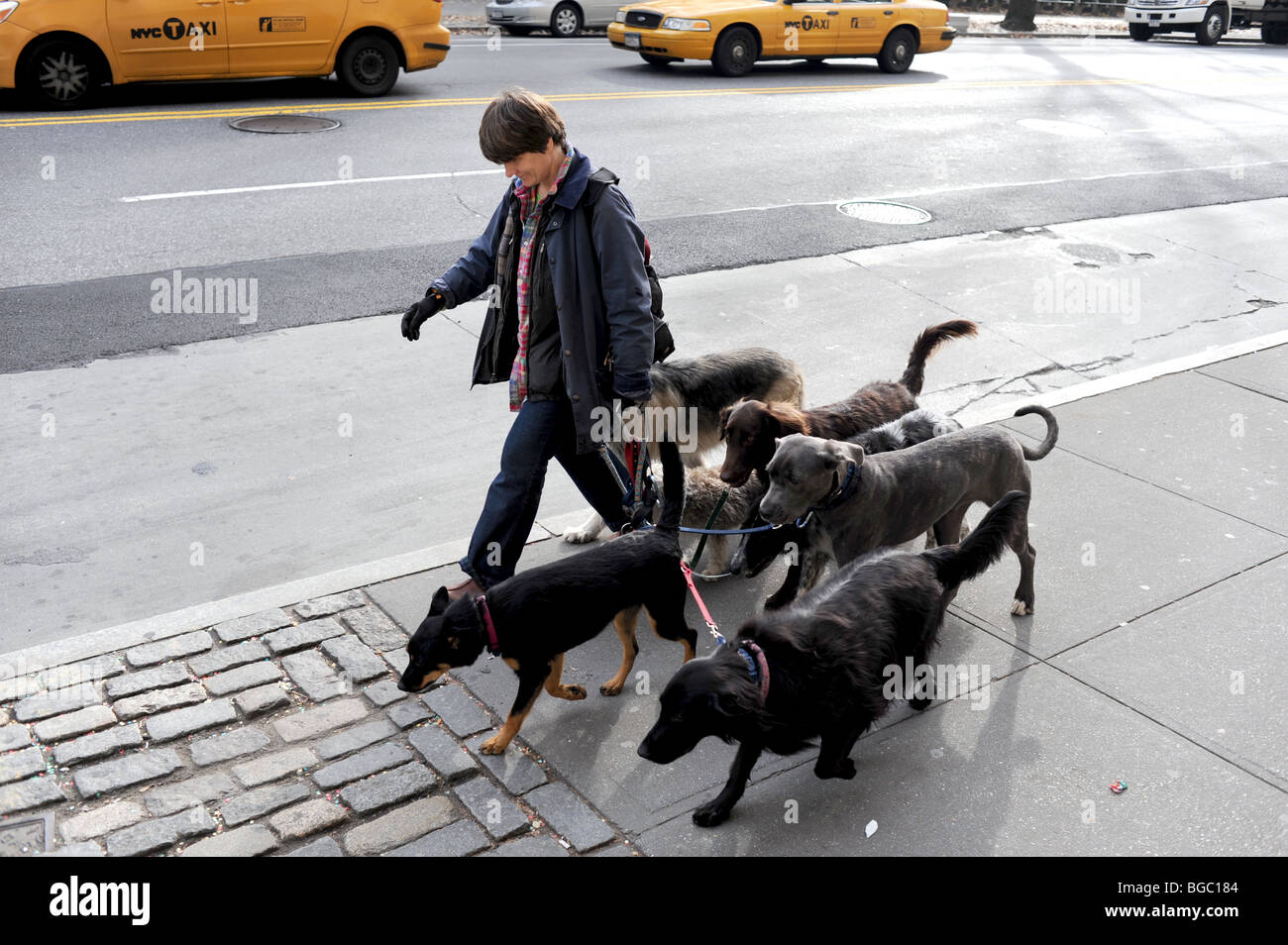 Female walking dogs near Central Park Manhattan New York USA - photo by Simon Dack - Stock Image