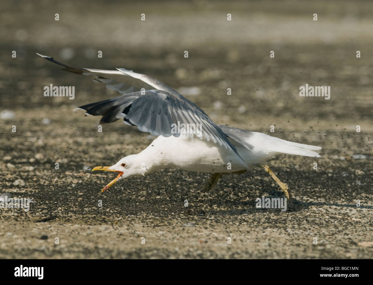 California Gull (Larus californianus) eating Alkali Flies, Mono Lake, California - Stock Image