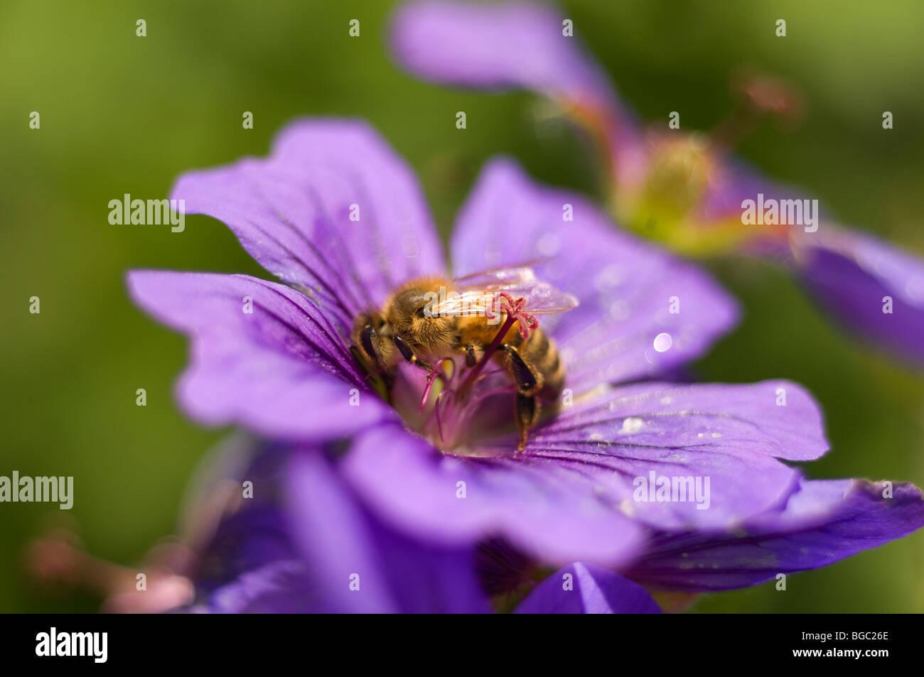 Geranium himalayense - Stock Image