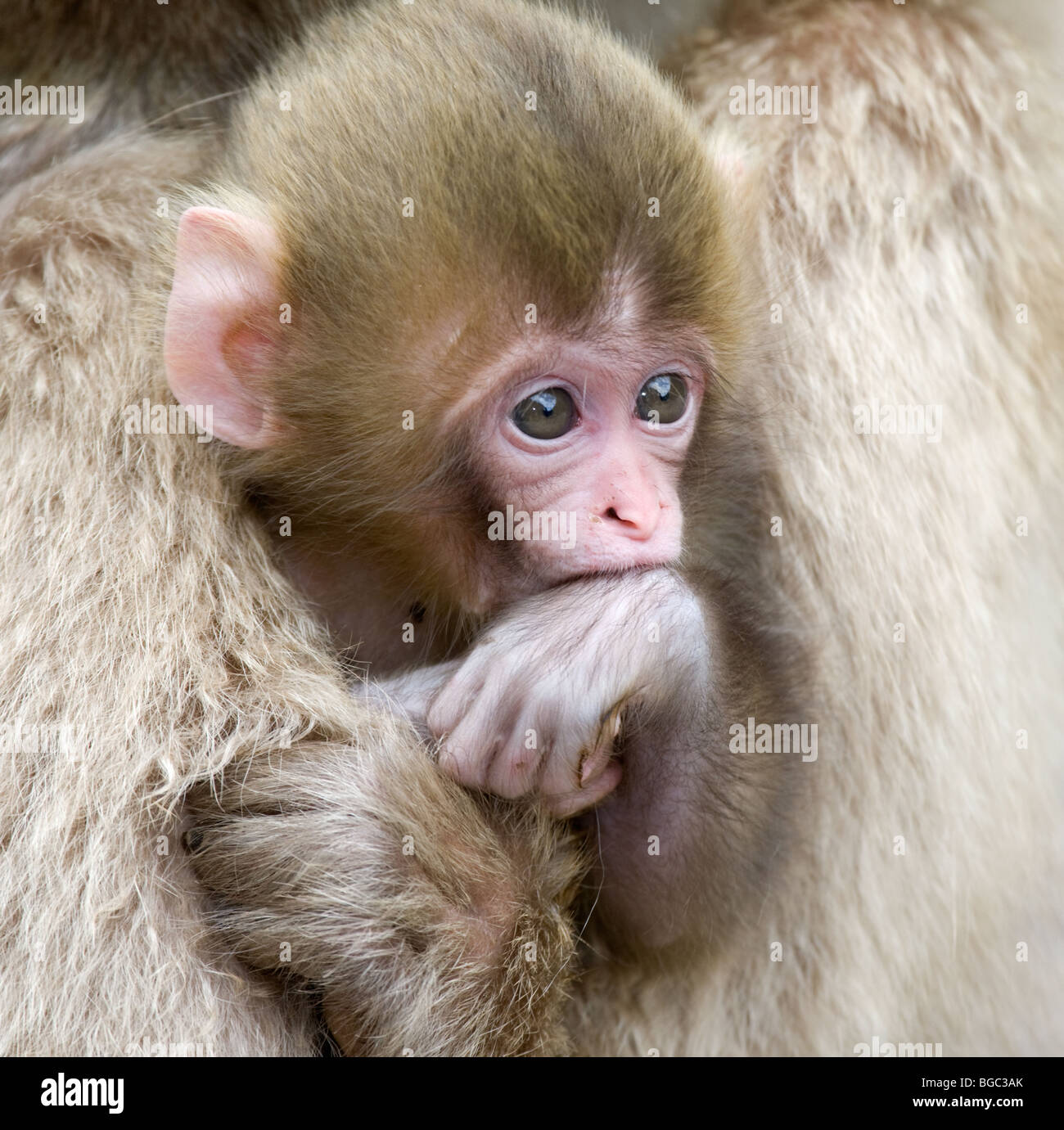 Japanese Macaque baby (Macaca fuscata) in mother's arms - Stock Image