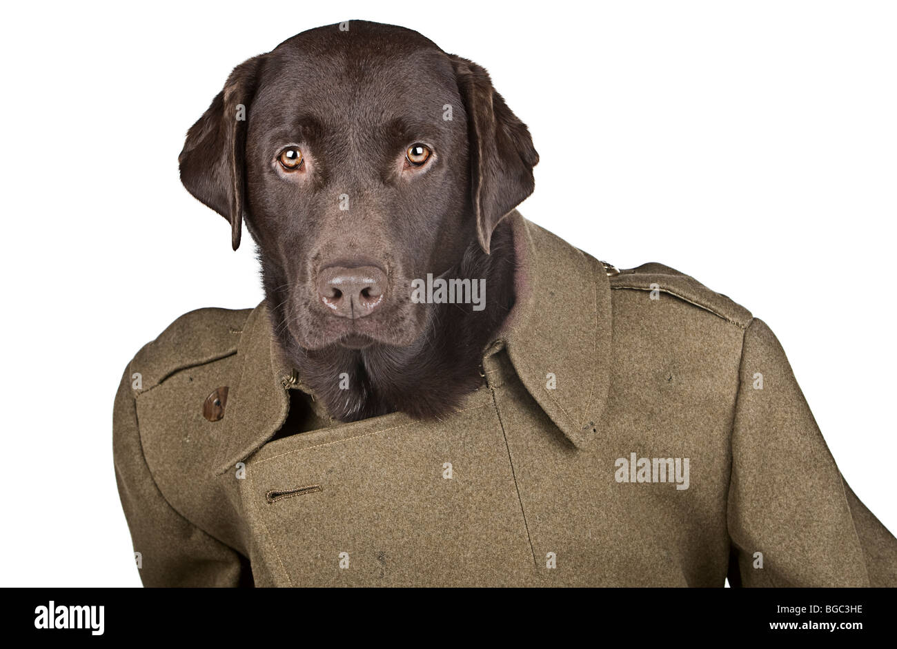 Good Boo Army Adorable Dog - humour-shot-of-a-chocolate-labrador-dressed-in-historic-army-coat-BGC3HE  Snapshot_43848  .jpg
