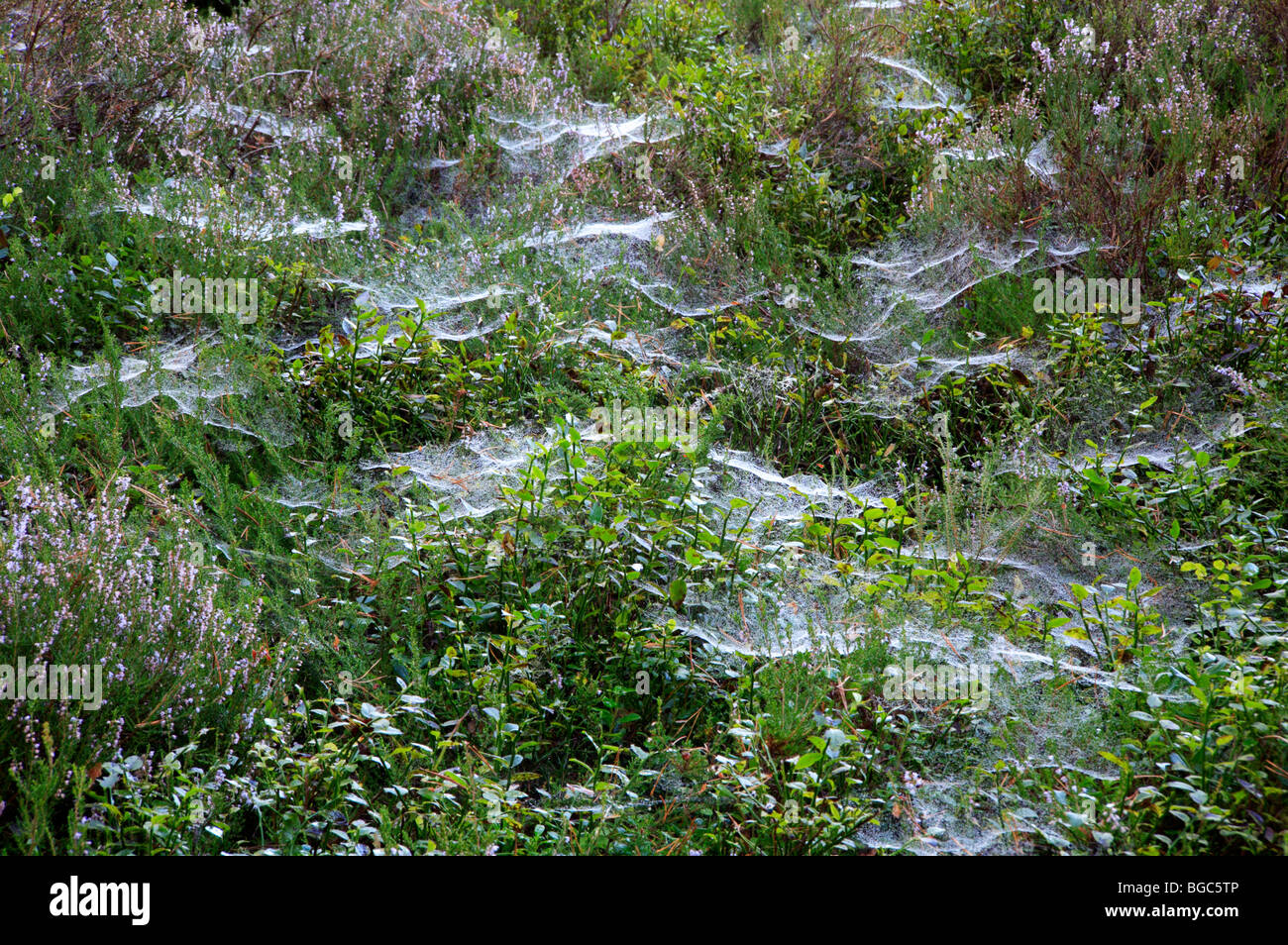 Spiders webs on boggy ground by Loch an Eilein near Aviemore, Inverness-shire, Scotland, United Kingdom. - Stock Image