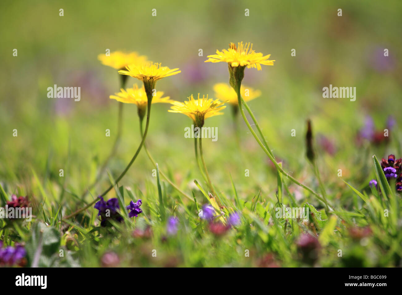 'Dandelions in a lawn', reaching upwards in a circle. - Stock Image