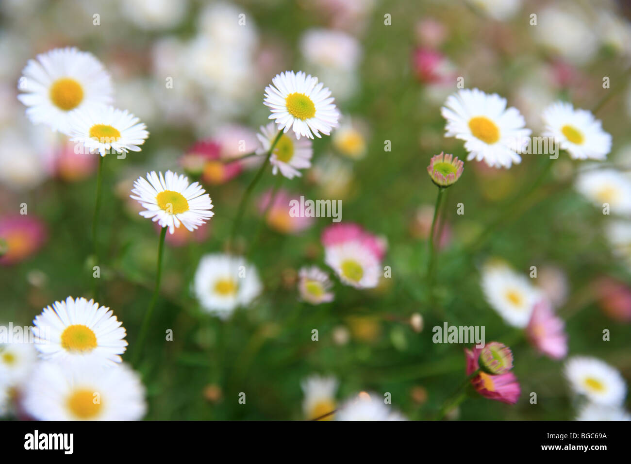 Daisy Pink White Ground Cover Flowers Garden Uk Stock Photo