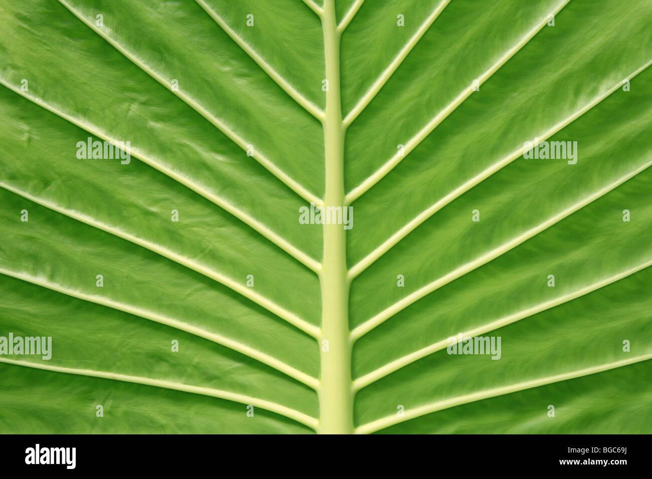 BIG 'Green Leaf' veins underside symmetry symmetrical perfect nature creation jungle, Giant Taro - Stock Image