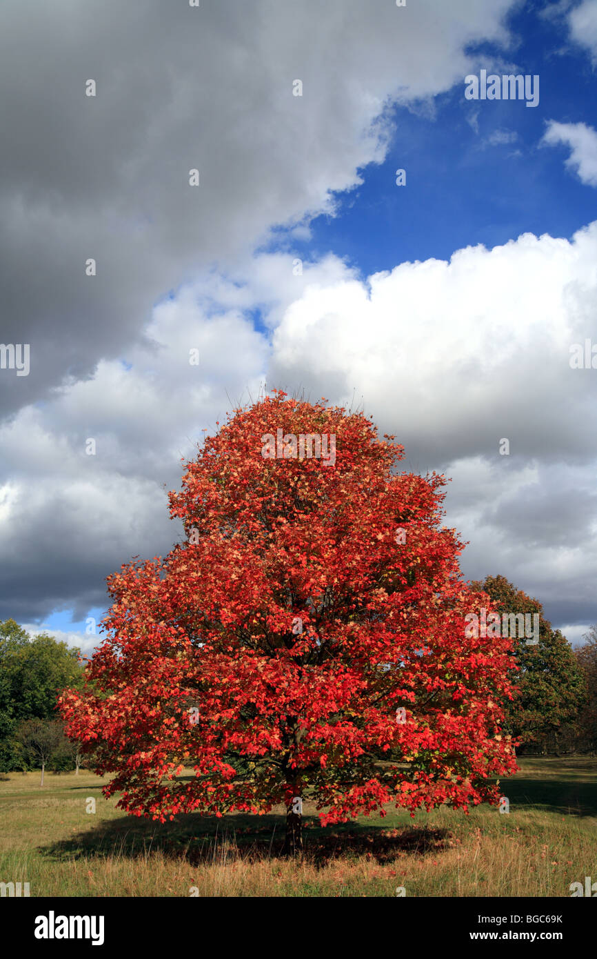 Autumn maple tree set against a blue sky with white clouds - Stock Image