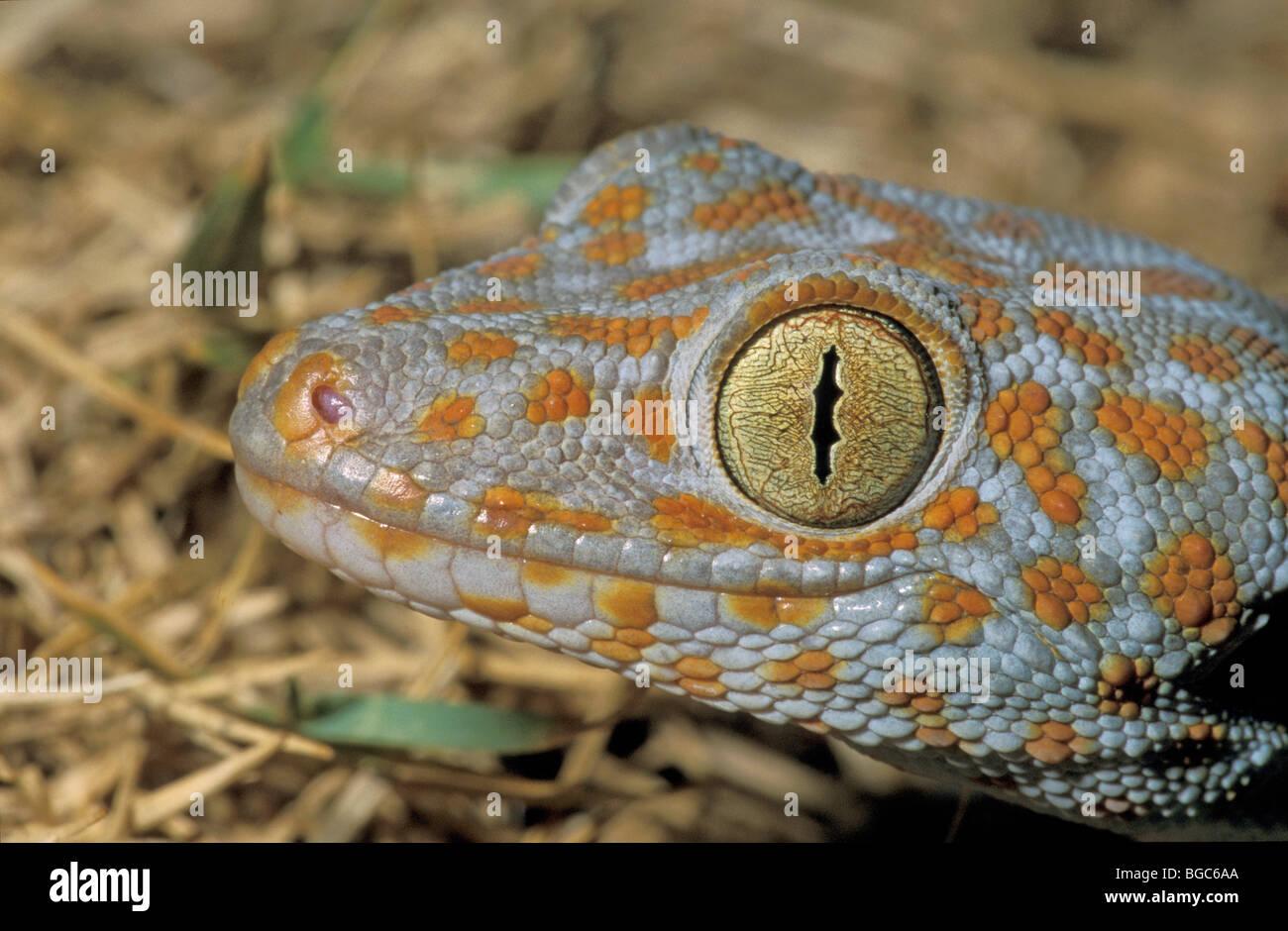 Gekko Gecko Stock Photos Amp Gekko Gecko Stock Images Alamy