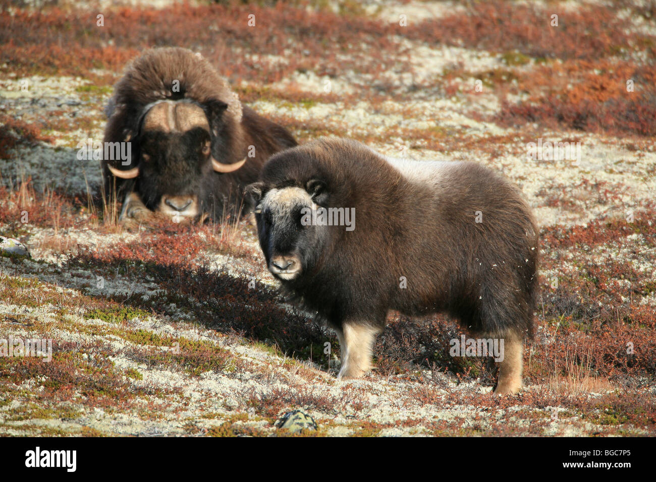Adult Muskox and calf in Dovrefjell national park, Norway. Stock Photo