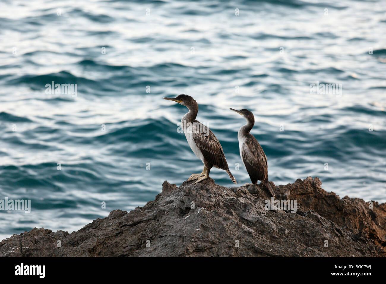 Great Cormorants (Phalacrocorax carbo) on a rock by the sea, Croatia, Europe - Stock Image