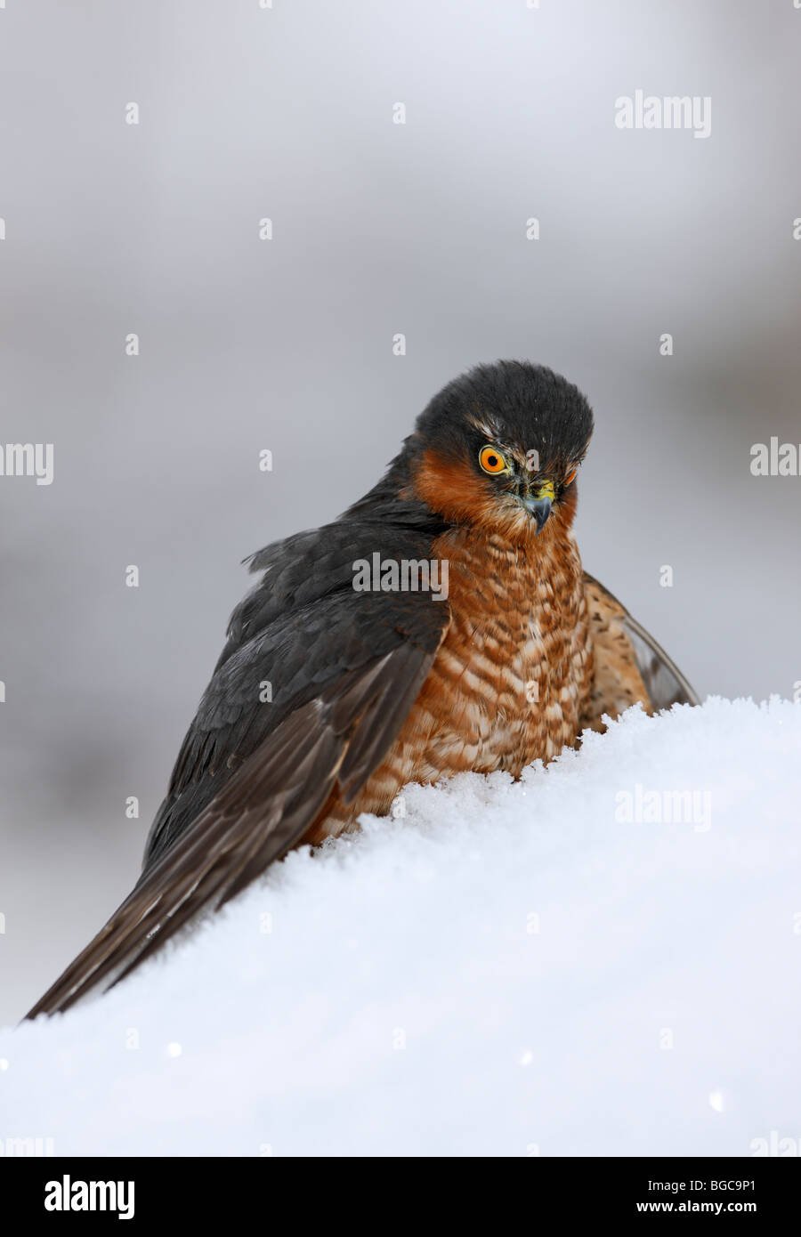 Sparrowhawk Accipiter nisus on kill in snow - Stock Image