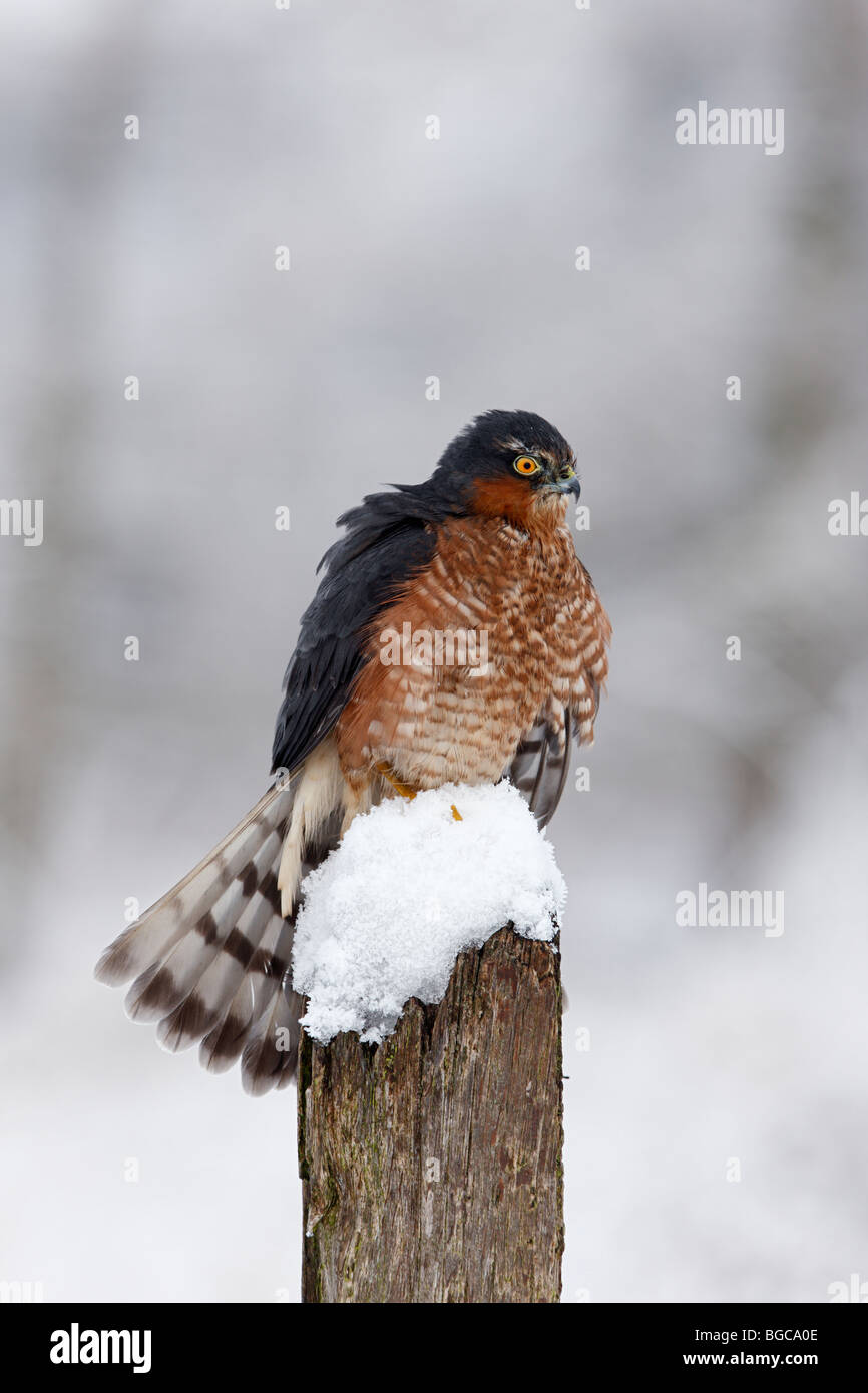 Sparrowhawk Accipiter nisus  snow covered post - Stock Image