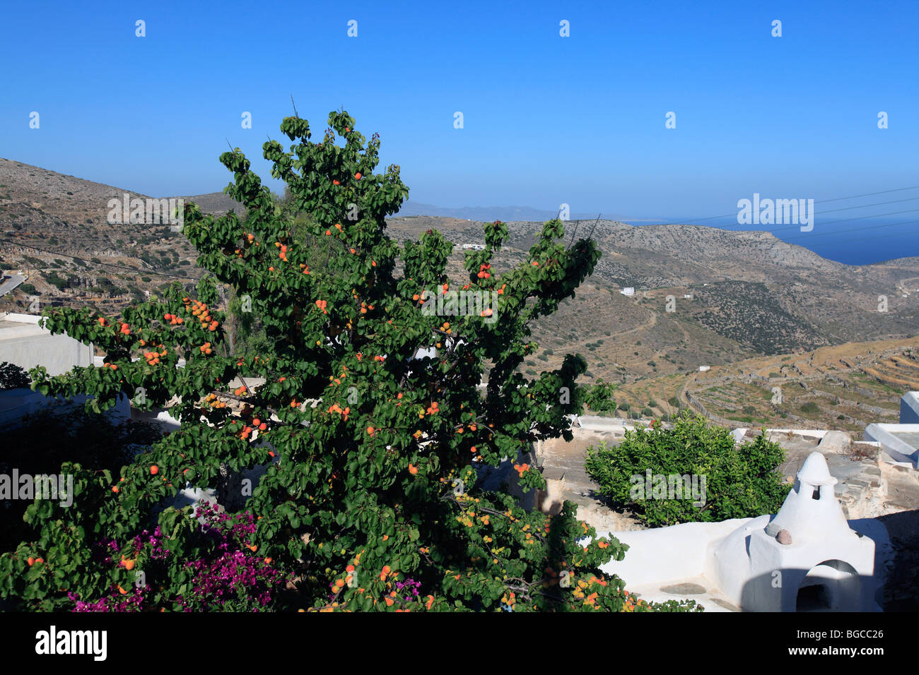 greece cyclades sikinos an apricot tree full of fruit - Stock Image