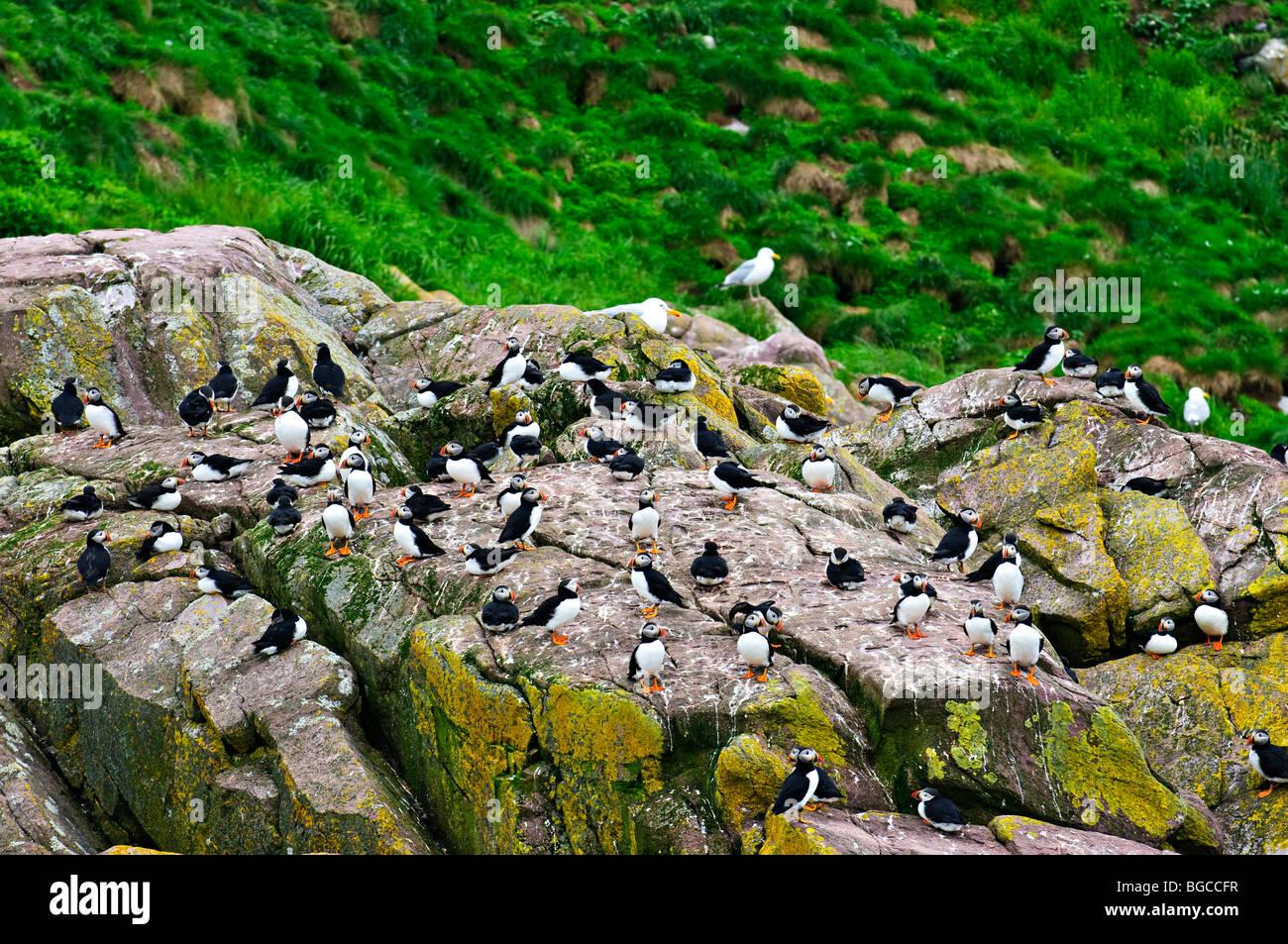 Puffin birds on rocky island in Newfoundland, Canada - Stock Image