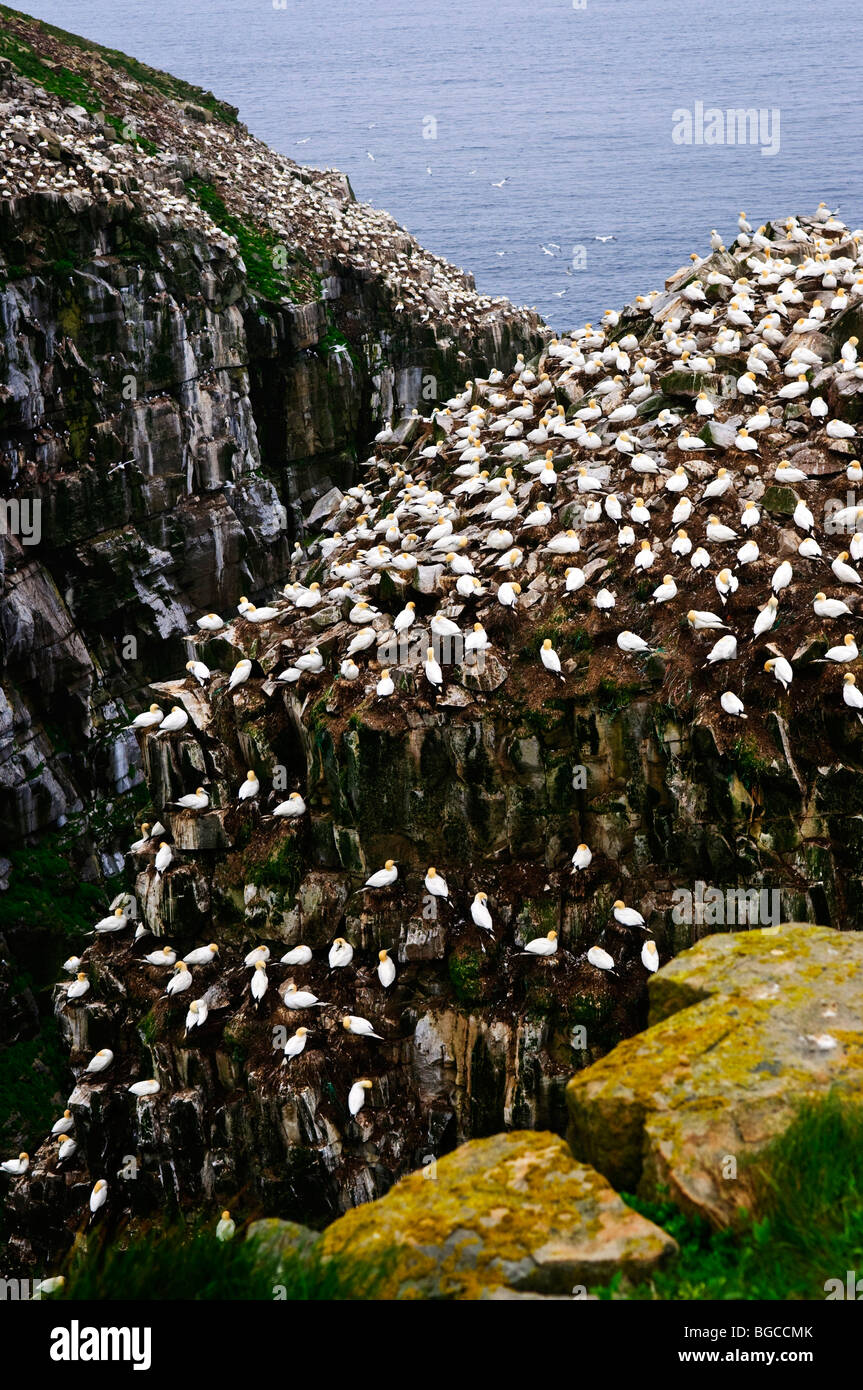 Northern gannets at Cape St. Mary's Ecological Bird Sanctuary in Newfoundland, Canada - Stock Image