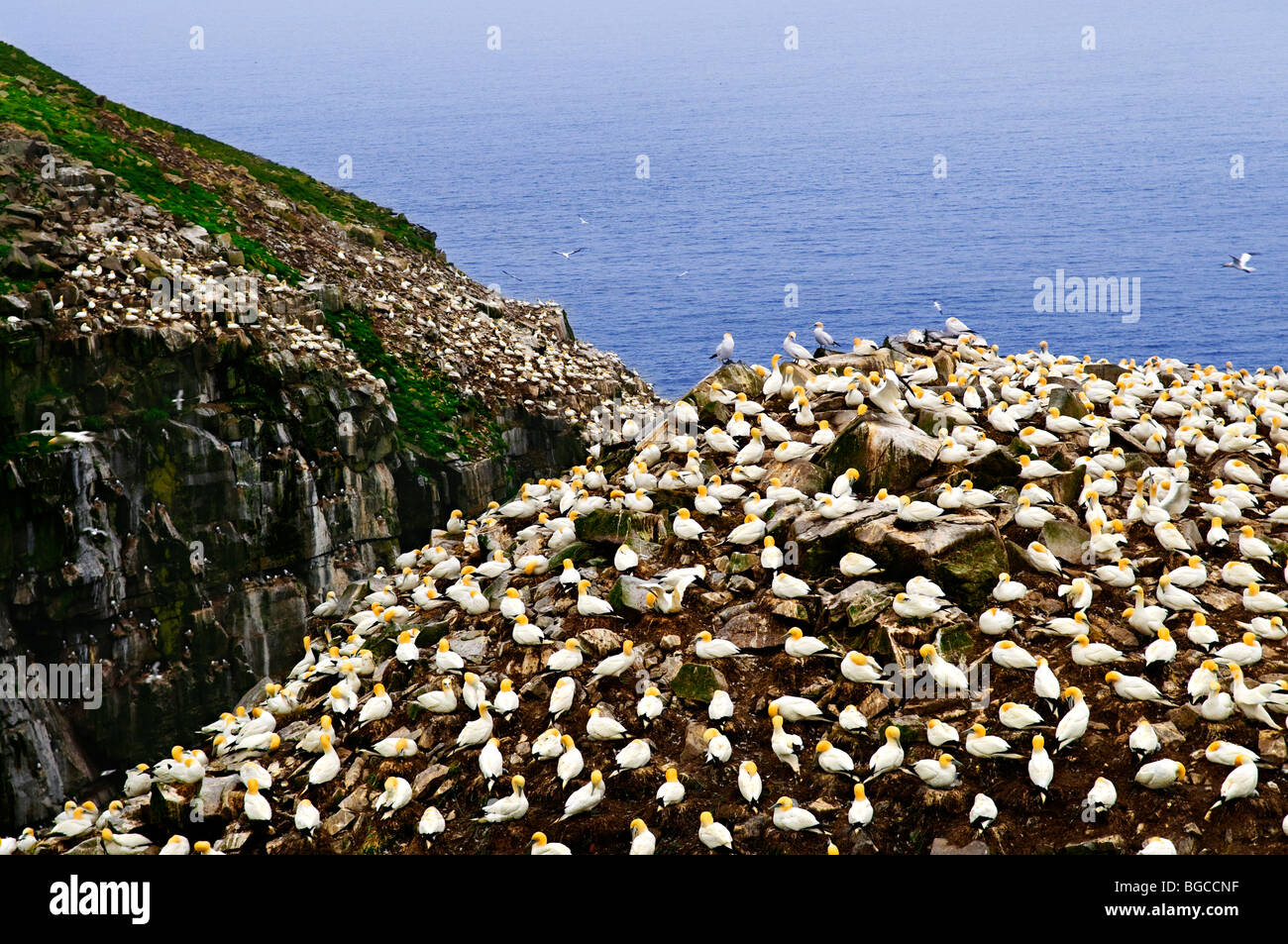 Northern gannets at Cape St. Mary's Ecological Bird Sanctuary in Newfoundland - Stock Image