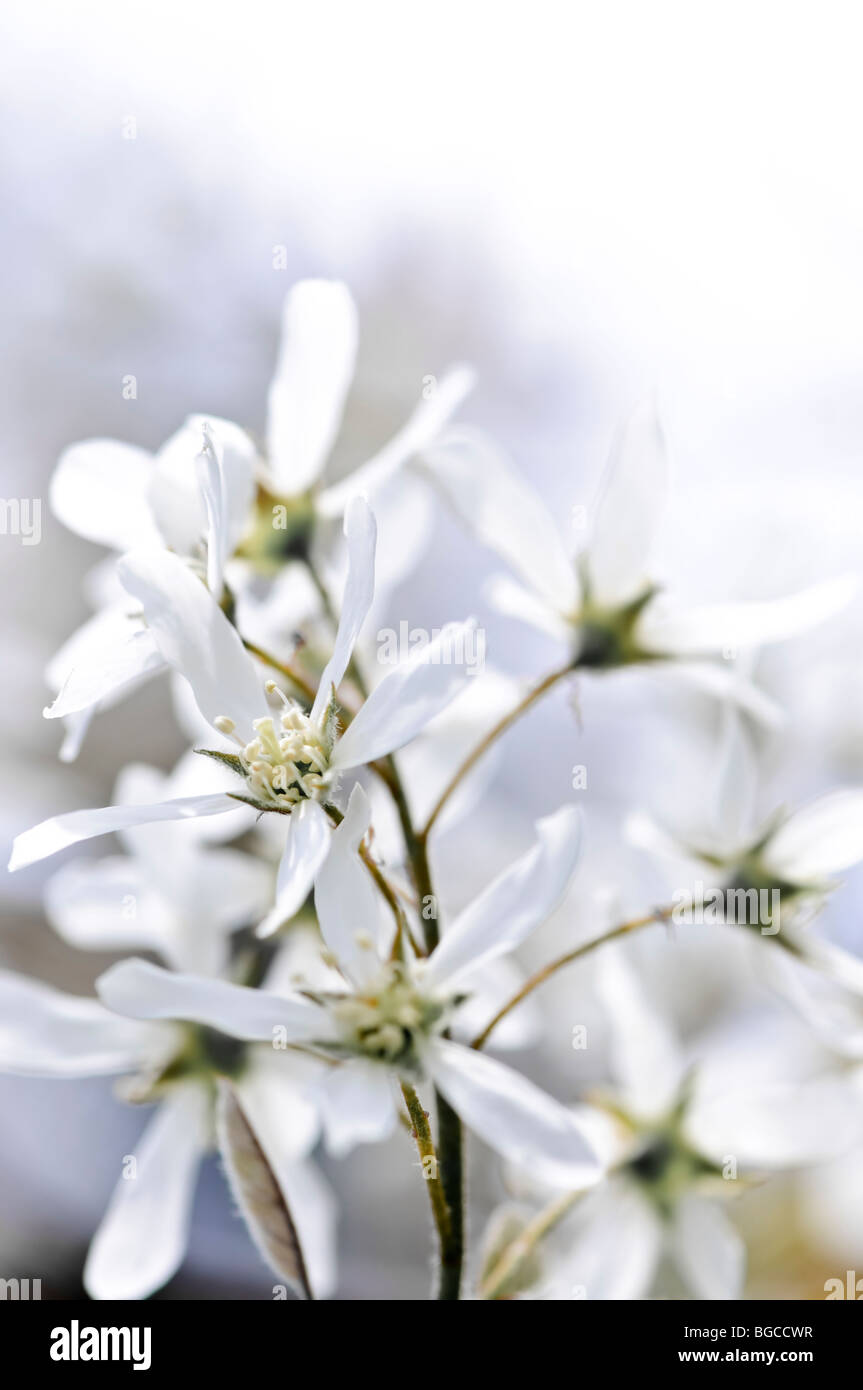 Gentle white spring flowers of the serviceberry shrub - Stock Image