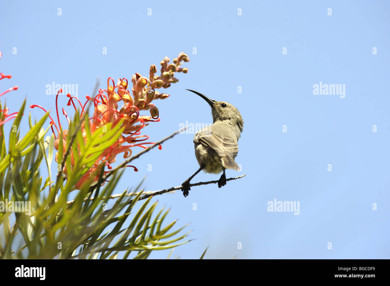 Lesser Double Collared Sunbird feeding on flower - Stock Image
