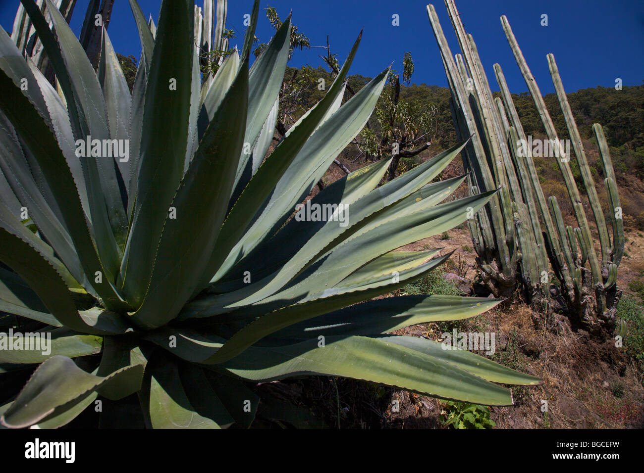 Giant century plant and cactus in the arid desert of Michoacan, Mexico. - Stock Image