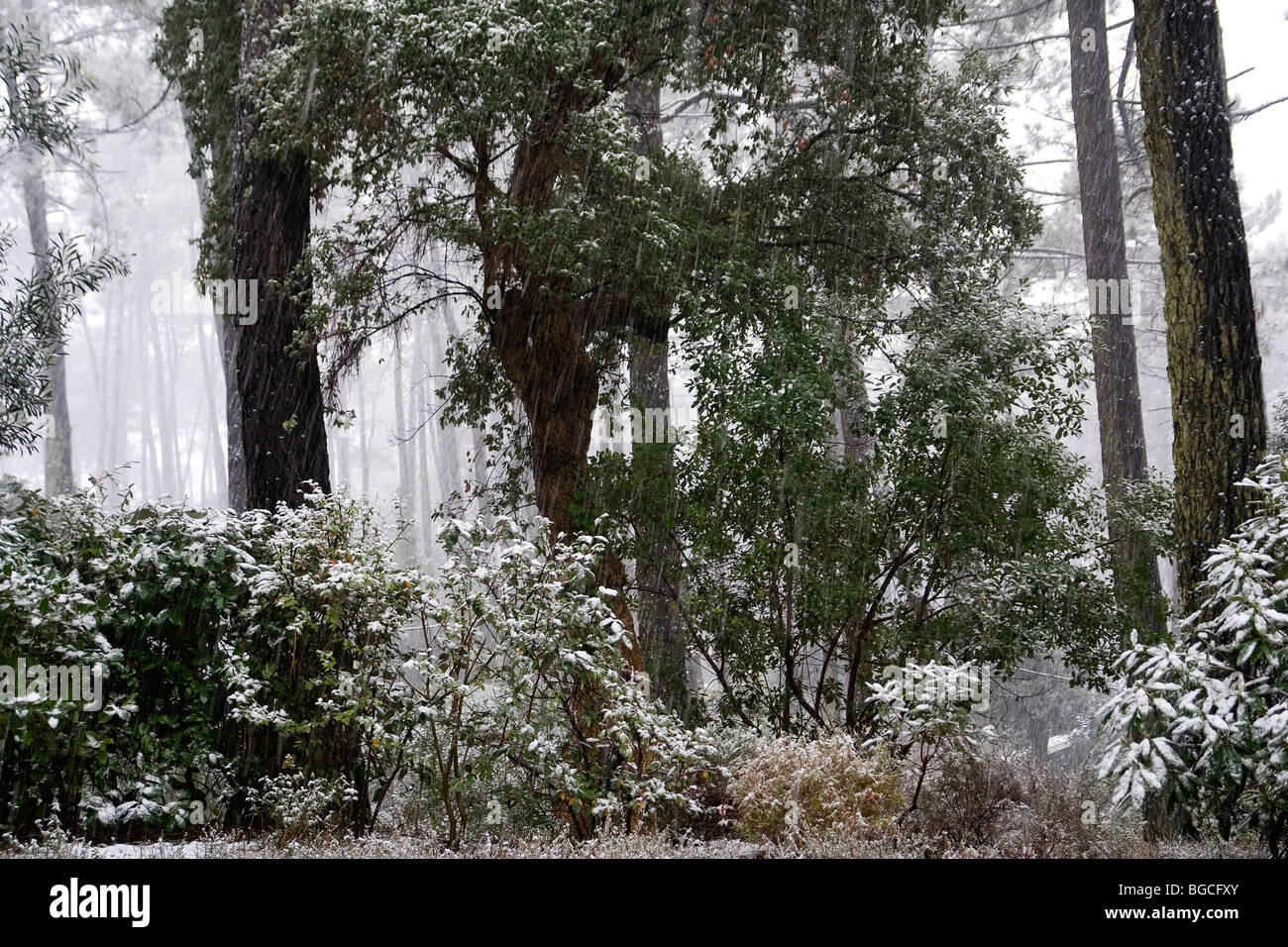 An unusual snowfall in a forest of the Southerly Aquitaine (France). Une chute de neige inhabituelle dans le Sud - Stock Image