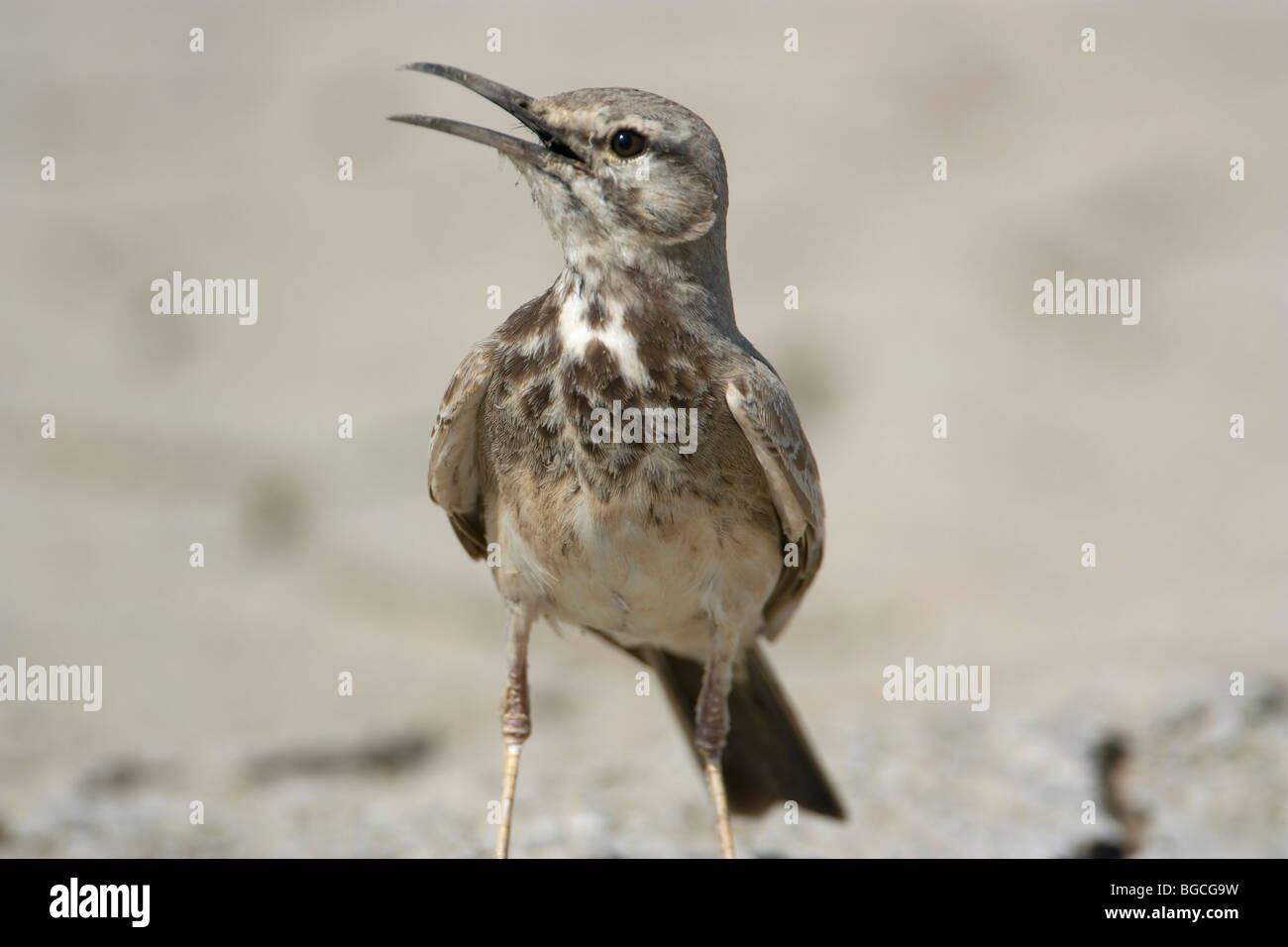 Greater hoopoe lark close up in  rann of kutch - Stock Image