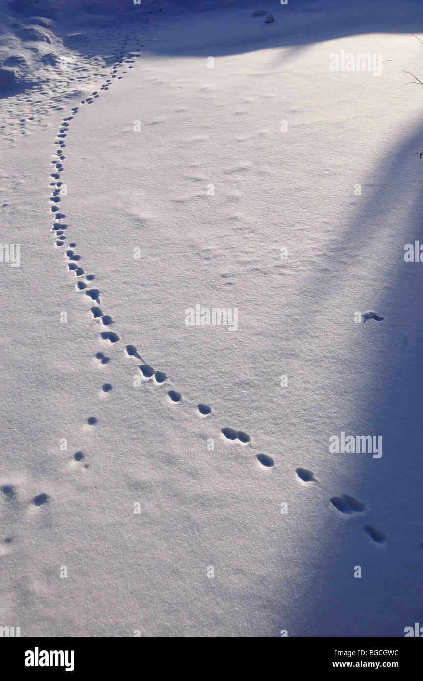 Animal tracks in fresh snow. Copper Mountain, Colorado, USA. - Stock Image