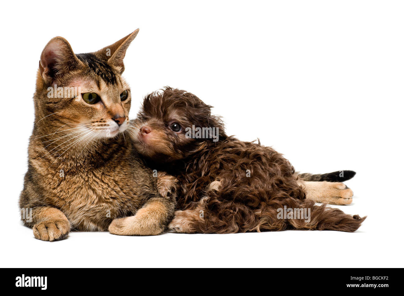 Cat and lapdog in studio on a neutral background - Stock Image