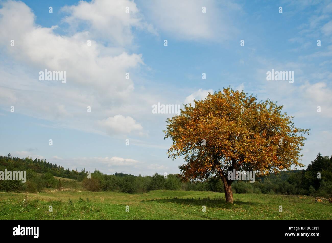 autumn tree on meadow - Stock Image