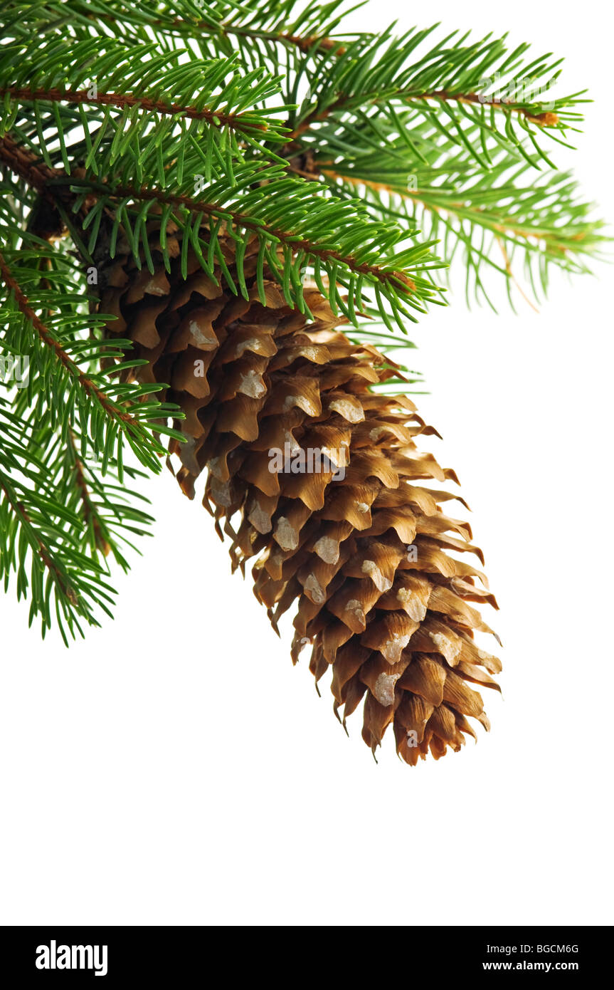cone and fir twig isolated - Stock Image