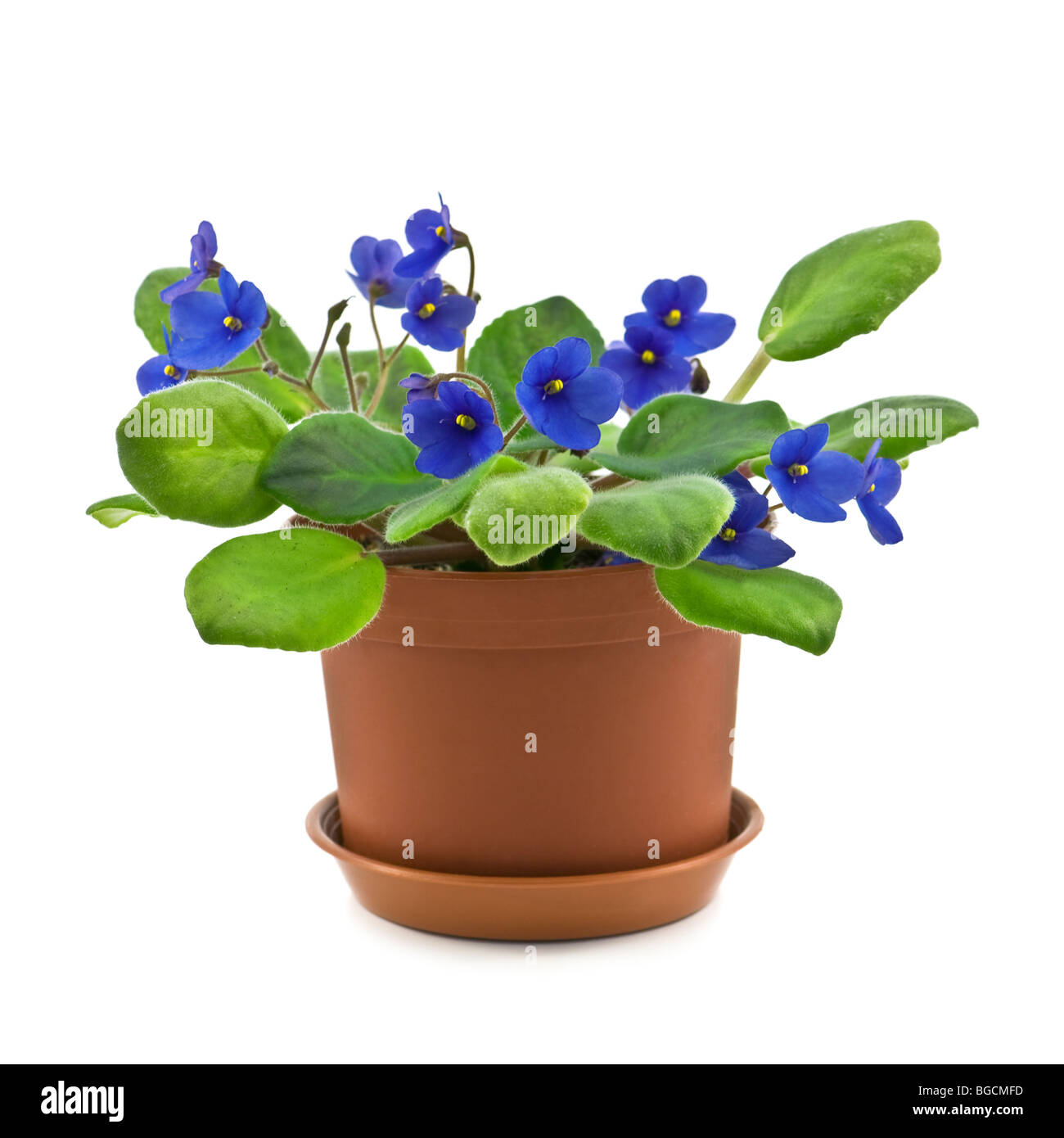 violet in pot isolated - Stock Image