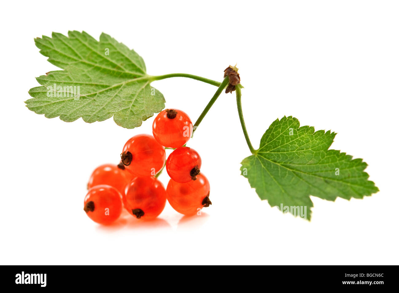 twig of red currant isolated - Stock Image